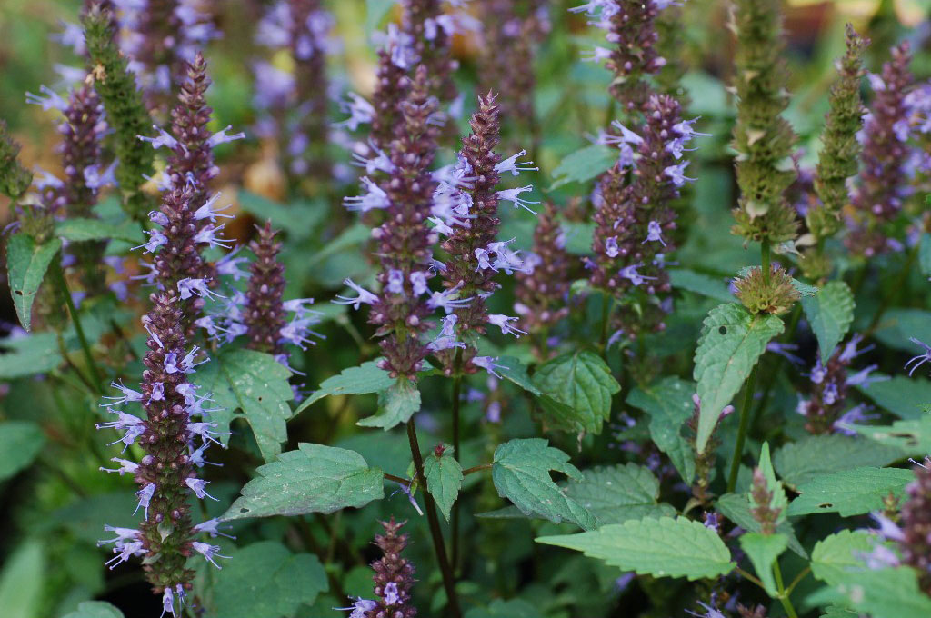 Agastache after eight Joy vaste planten