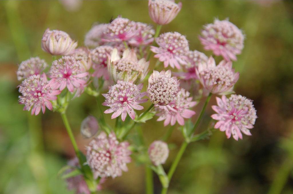 Astrantia maj roma Joy vaste planten