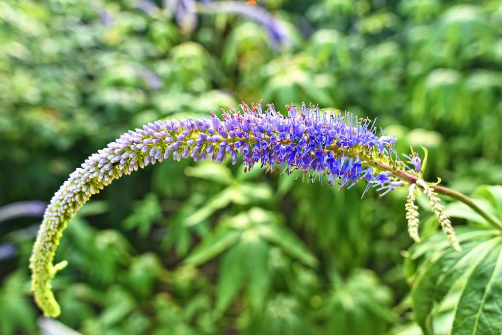 garden-speedwell-3482937_1920