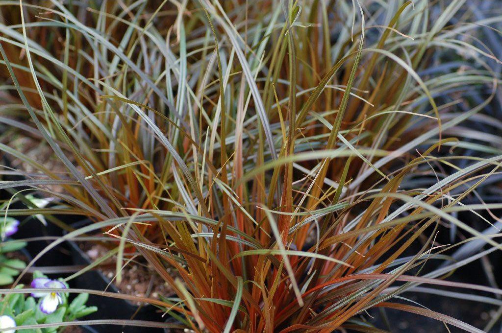 Uncinia Rubra siergras Joy vaste planten